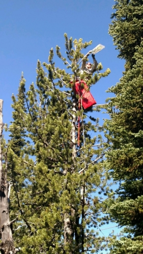 Whitebark Pine at Whitefish Mountain Resort